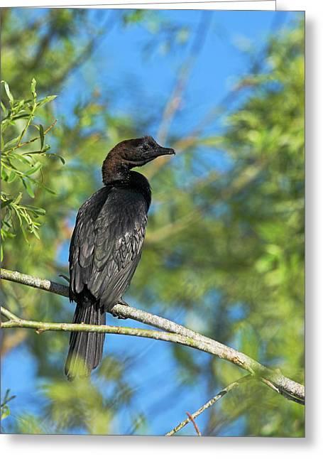 Pygmy Cormorant (phalacrocorax Pygmeus Greeting Card