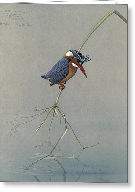 Pygmy Kingfisher Greeting Card by Rob Dreyer