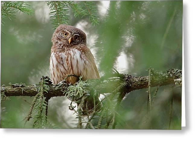 Pygmy Owl Greeting Card