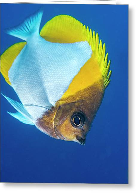 Pyramid Butterflyfish On A Reef Greeting Card