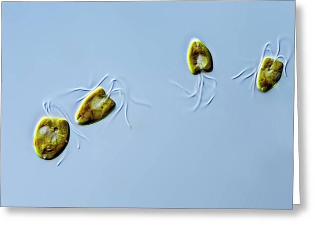 Pyramimonas Green Algae Greeting Card