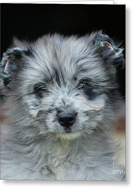 Pyrenean Sheepdog Puppy Greeting Card