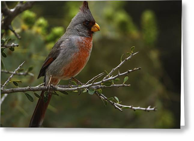 Pyrrhuloxia Portrait Greeting Card