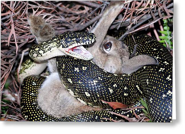 Python Suffocating A Rabbit Greeting Card by Gerry Pearce