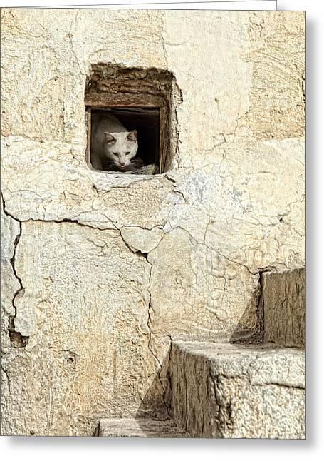 Qatari Alley Cat Greeting Card by Paul Cowan