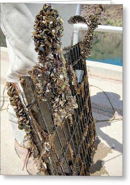 Quagga Mussels Greeting Card by Us Bureau Of Reclamation/andy Pernick