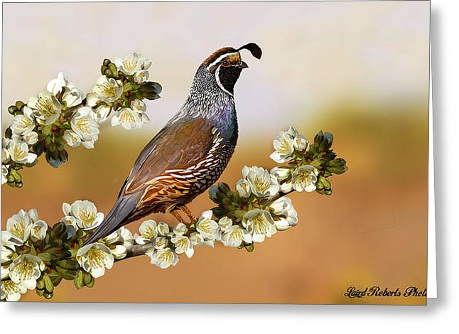 Quail In Cherry Tree Greeting Card by Laird Roberts