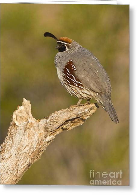 Quail On A Stick Greeting Card by Bryan Keil