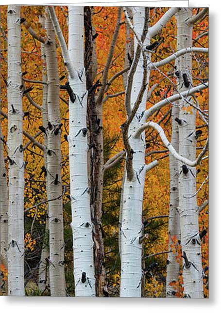 Quaking Aspen Populus Tremuloides Greeting Card by Panoramic Images