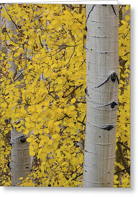 Quaking Aspen Populus Tremuloides Tree Greeting Card by Panoramic Images