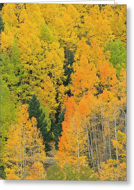 Quaking Aspens In A Fall Glow Greeting Card