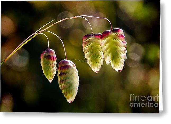 Quaking Grasses - Briza Media Greeting Card