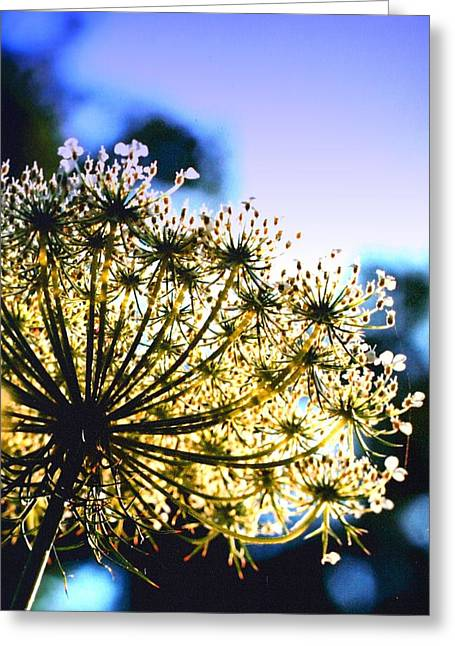 Queen Anne's Lace II Greeting Card by Diane Merkle