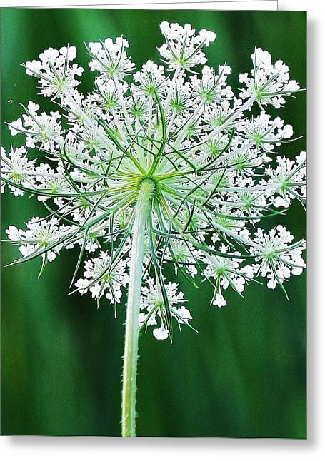 Queen Ann's Lace Greeting Card