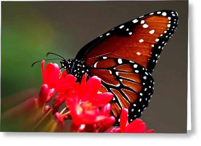 Queen Butterfly II Greeting Card by Penny Lisowski