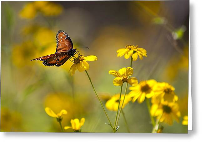 Queen Butterfly On Coreopsis  Greeting Card by Mark Weaver