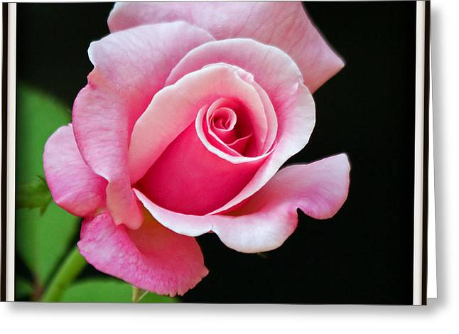 Queen Elizabeth Rose Greeting Card