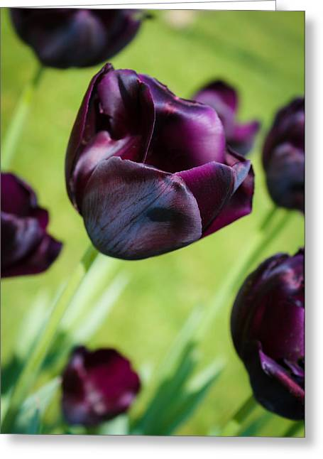 Greeting Card featuring the photograph Queen Of The Night Black Tulips by Peta Thames