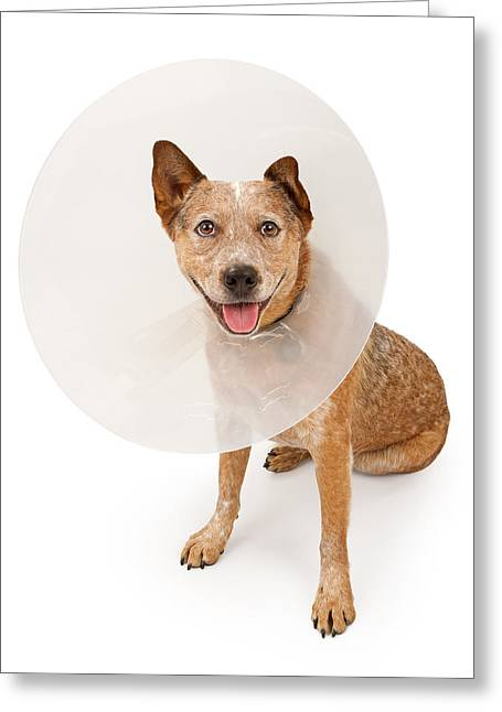 Queensland Heeler Dog Wearing A Cone Greeting Card