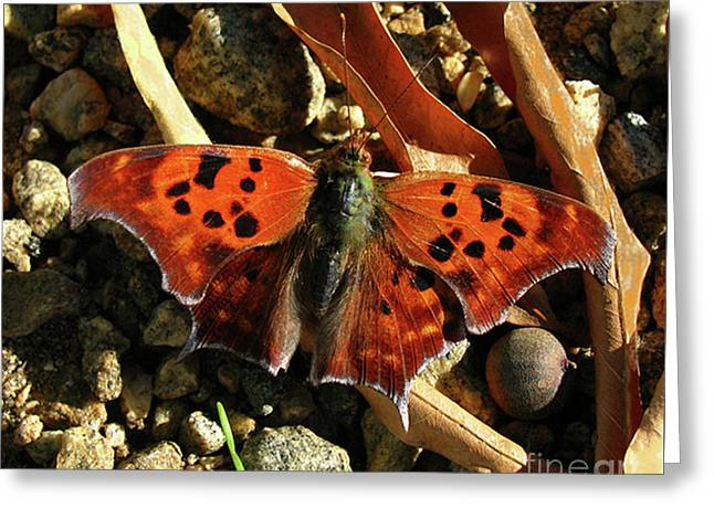 Greeting Card featuring the photograph Question Mark Butterfly by Donna Brown