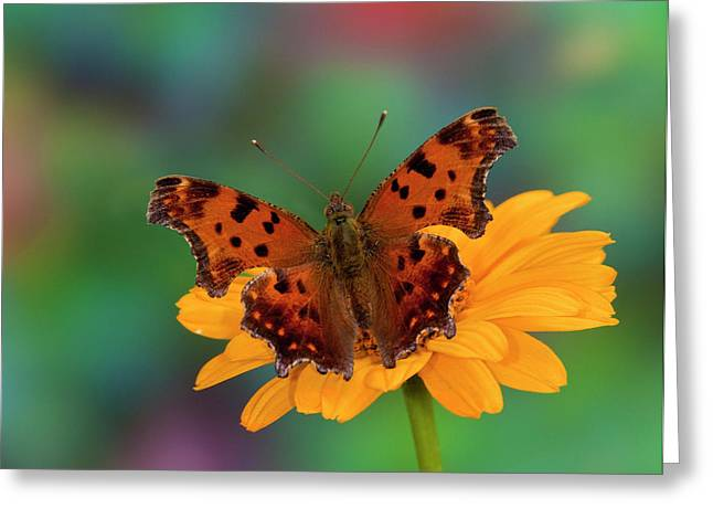 Question Mark Butterfly, Polygonia Greeting Card by Darrell Gulin