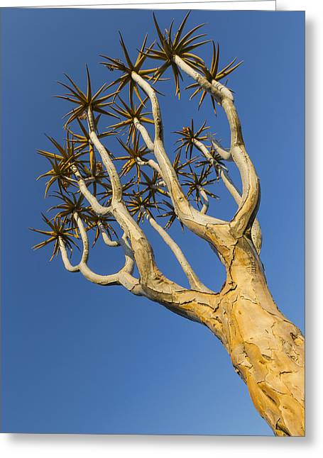 Quiver Tree Keetmanshoop Namibia Greeting Card by Vincent Grafhorst