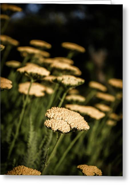 Quivering Yarrow Greeting Card by Dave Garner