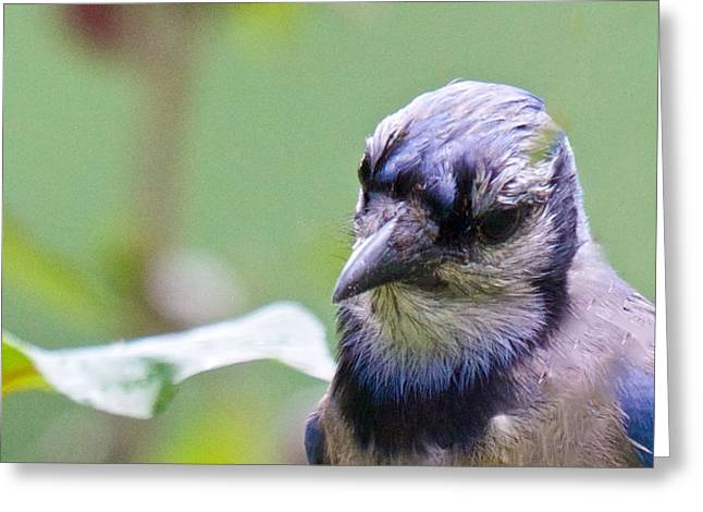 Quizzicle Blue Jay Greeting Card