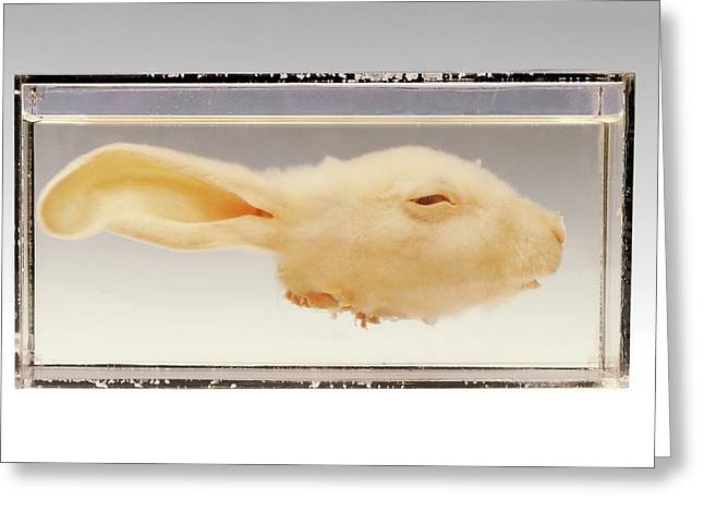 Rabbit Head Greeting Card by Ucl, Grant Museum Of Zoology