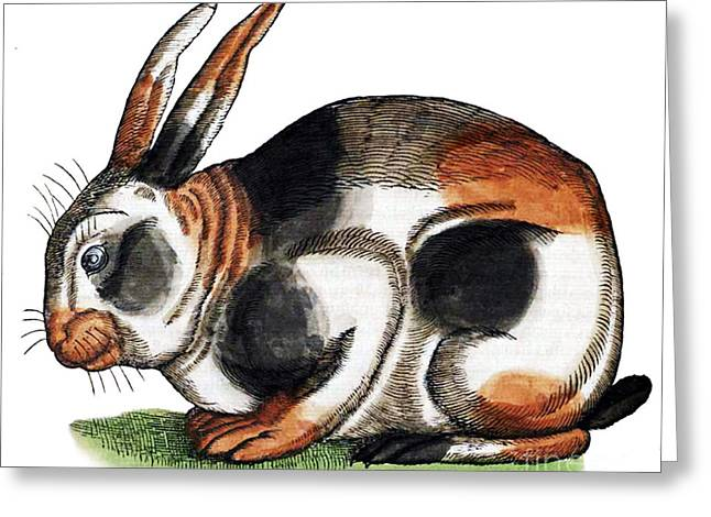 Rabbit From Historiae Animalium Greeting Card by Science Source