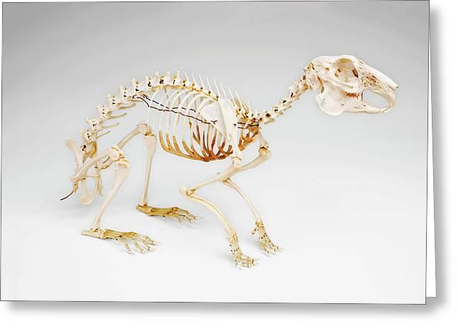 Rabbit Skeleton Greeting Card