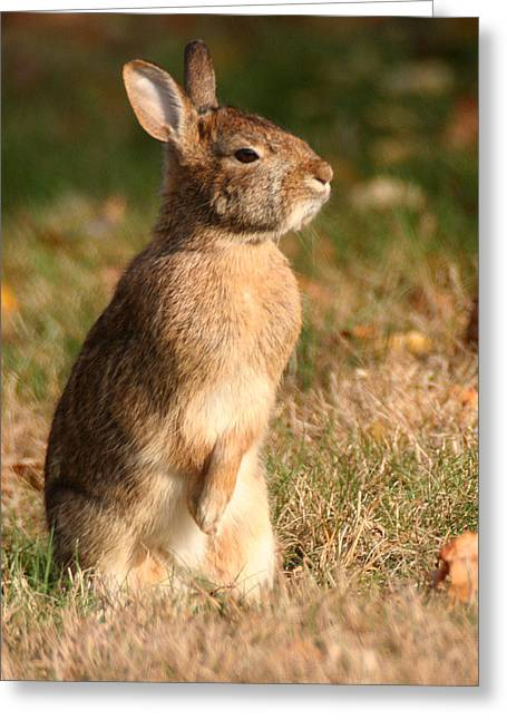 Greeting Card featuring the photograph Rabbit Standing In The Sun by William Selander