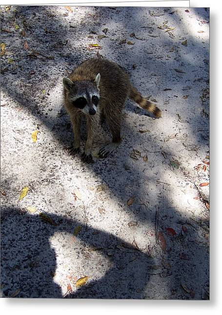 Raccoon 0311 Greeting Card