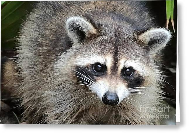 Raccoon Eyes Greeting Card