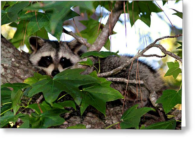 Raccoon Eyes Greeting Card