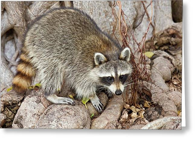 Raccoon Foraging For Food Greeting Card by Bob Gibbons
