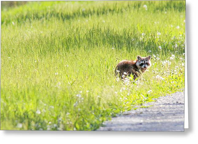 Raccoon In Green Field Greeting Card by Jill Bell