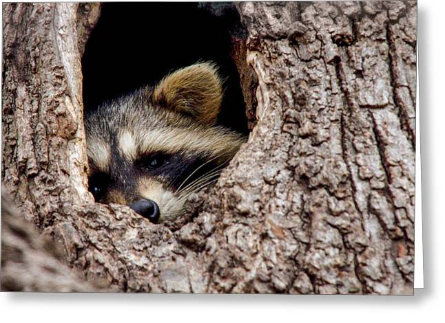 Raccoon In Tree Greeting Card by Jill Bell