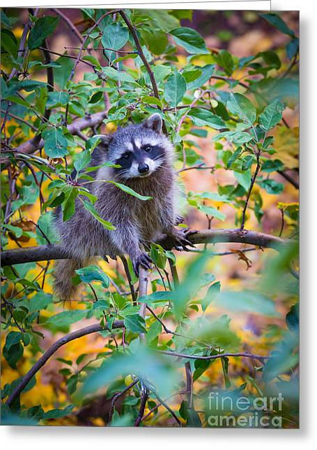 Raccoon Greeting Card by Inge Johnsson
