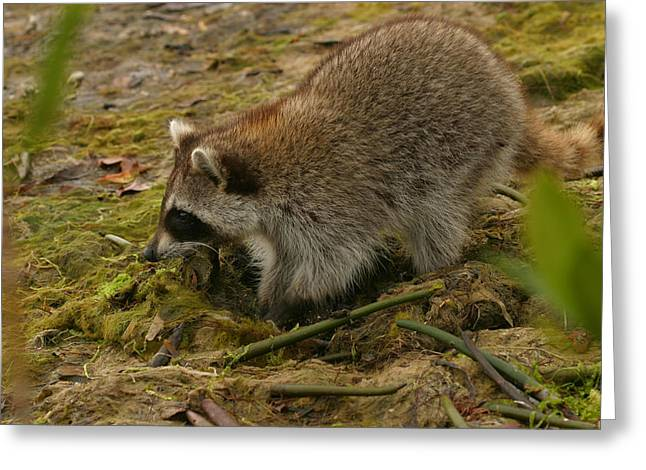 Raccoon Greeting Card by Mark Russell