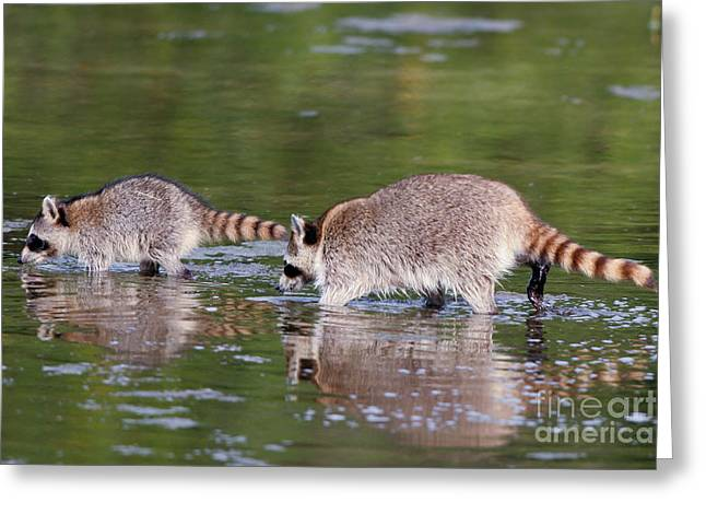 Raccoon Mother And Baby Greeting Card