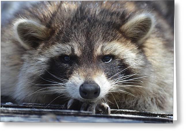 Raccoon -p Greeting Card
