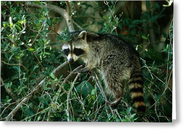 Raccoon Greeting Card by Paul J. Fusco