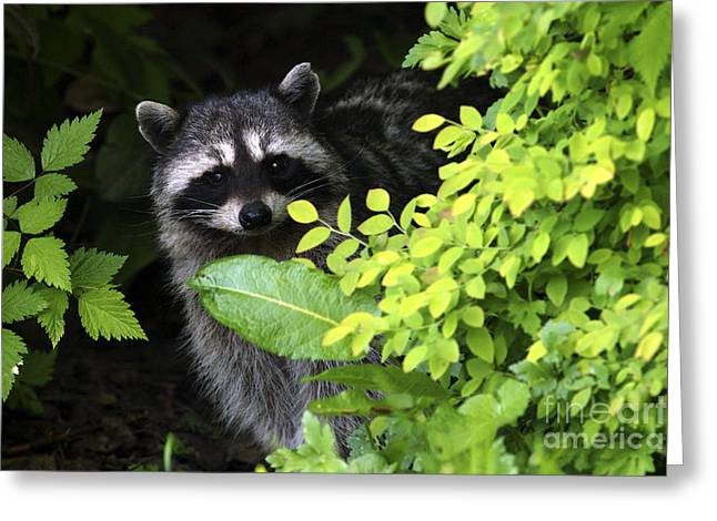 Raccoon Peek-a-boo Greeting Card by Sharon Talson