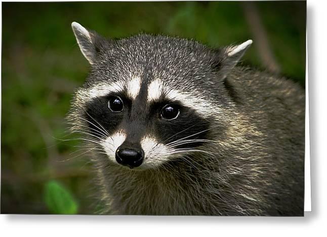 Raccoon Greeting Card by Robert Bales