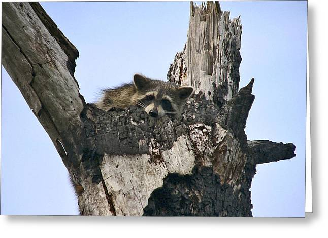 Raccoon Waiting. Lake Marion Creek W.m.a. Greeting Card