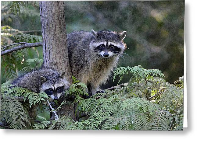 Raccoons In Stanley Park Greeting Card by Maria Angelica Maira