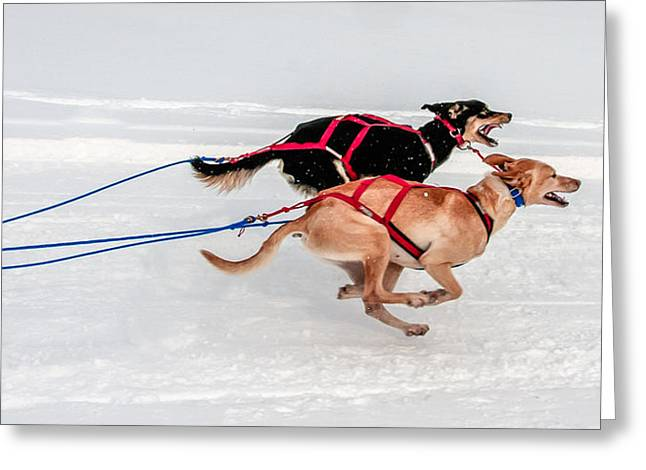 Racing Sled Dogs Greeting Card