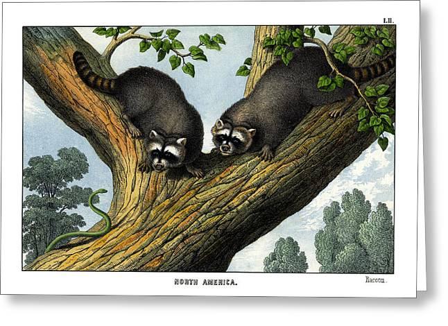 Racoon Greeting Card by Splendid Art Prints
