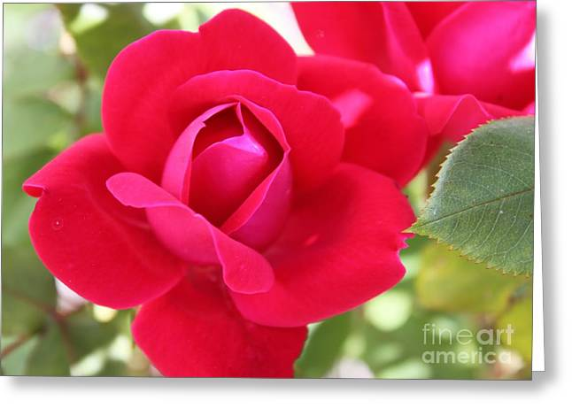 Radiant Red Rosebud Greeting Card by French Toast